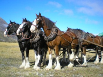 Clydesdales on horse trek
